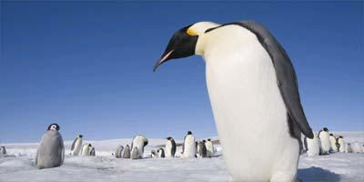 Penguinantarctica_corbis